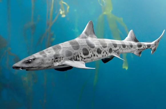 leopard_shark_01
